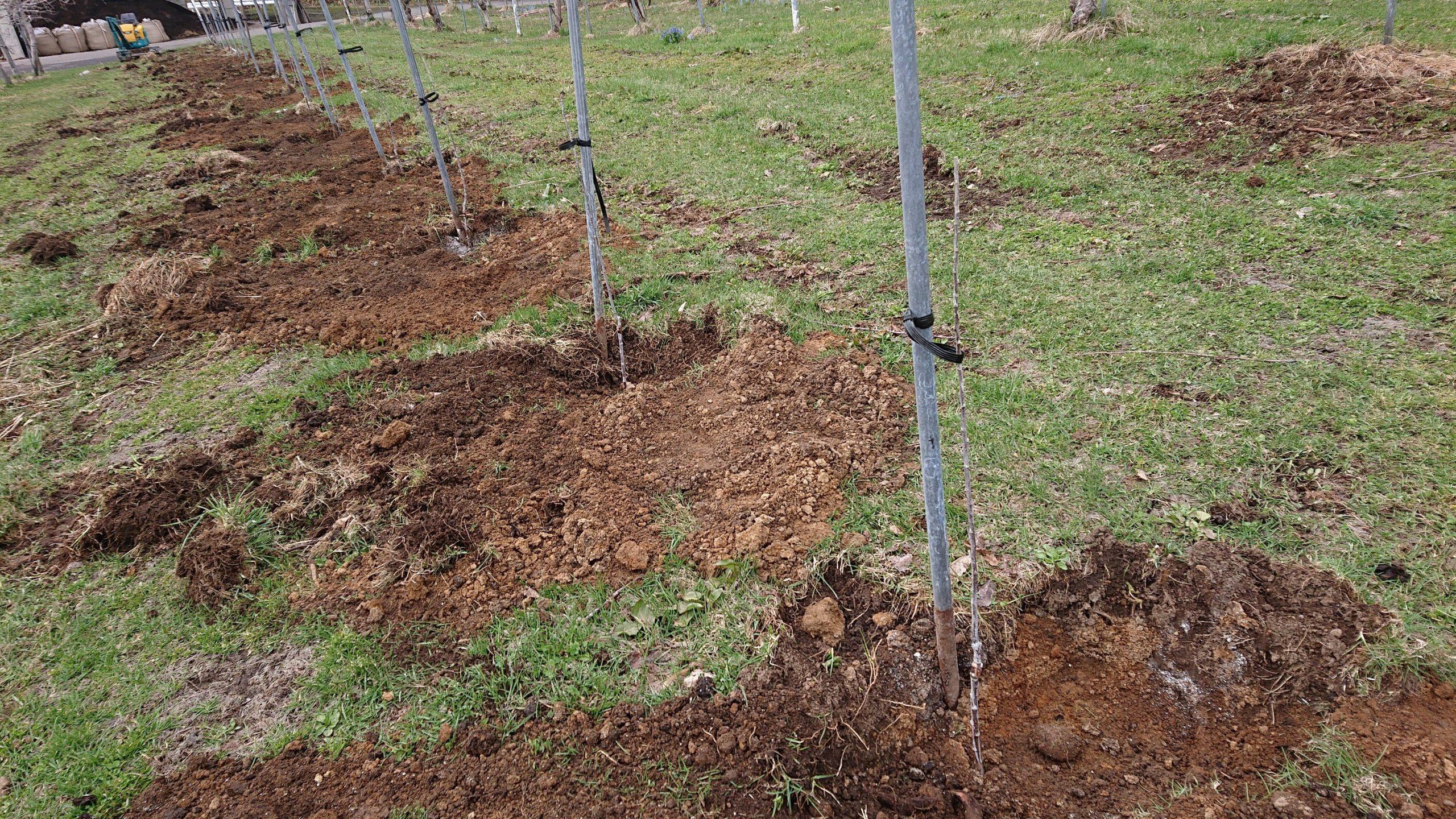 リンゴの苗木の植え付け