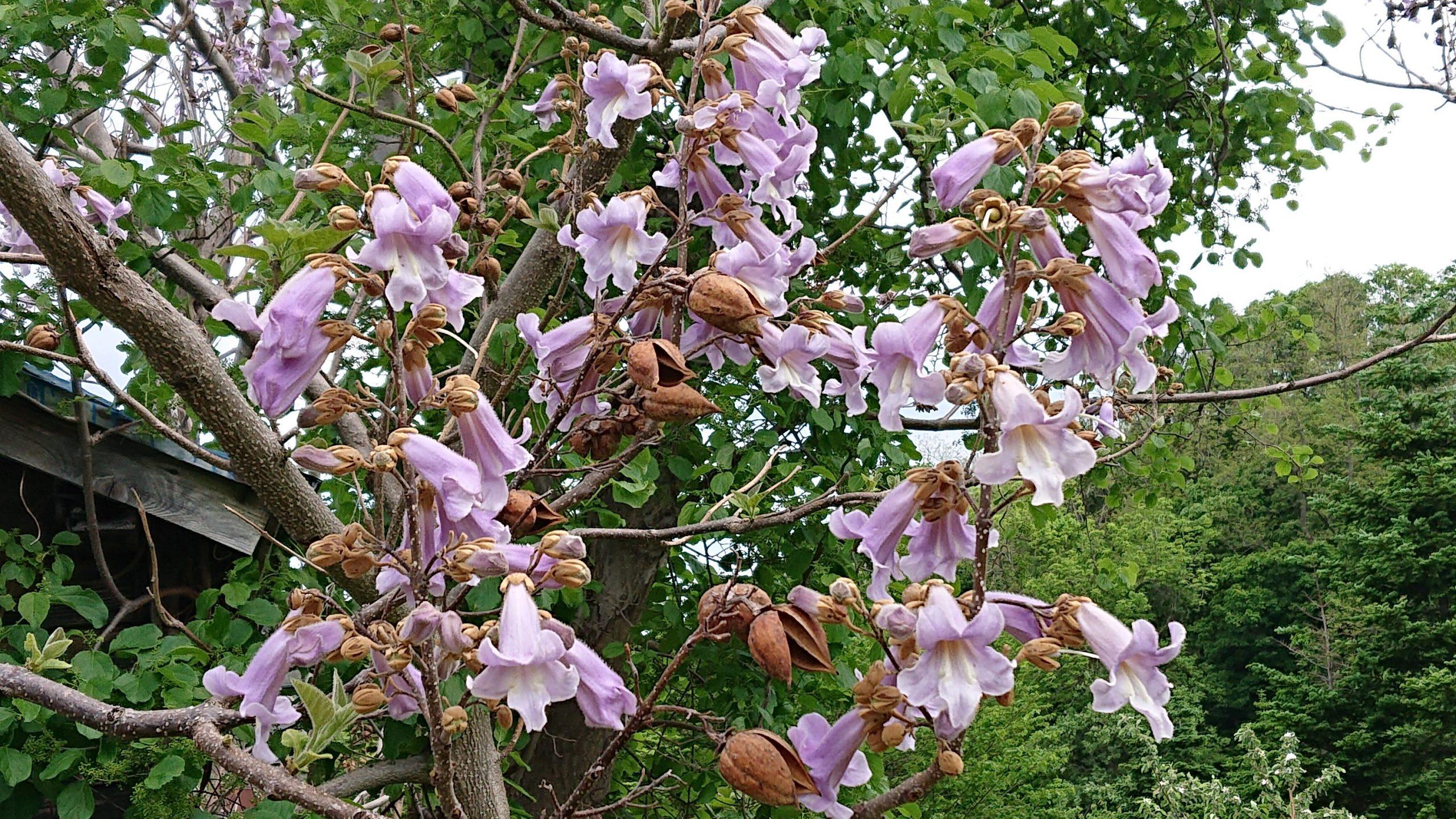 キリやフジの花盛り
