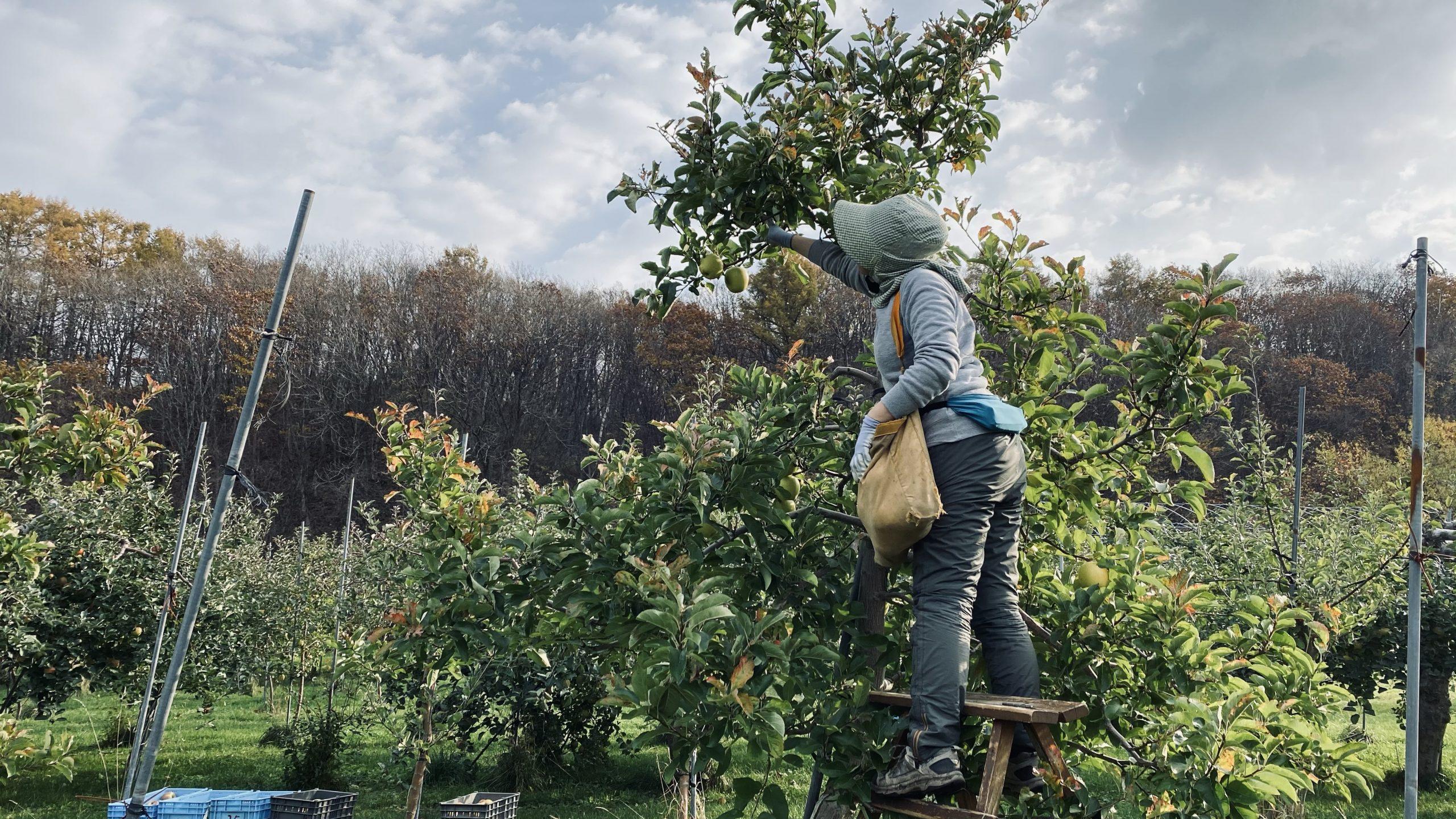 リンゴ収穫、いよいよ終盤戦へ