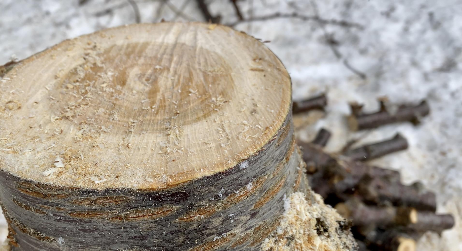 伐採。切らなきゃいけない場合もある…